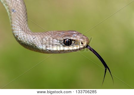 A Western Yellow-bellied Racer (Coluber constrictor Mormon)