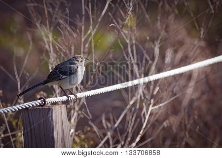 Mockingbird sitting on a wire with green and branches in background