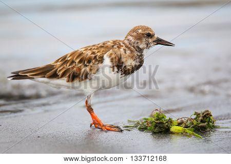 Ruddy Turnstone On The Beach Of Paracas Bay, Peru