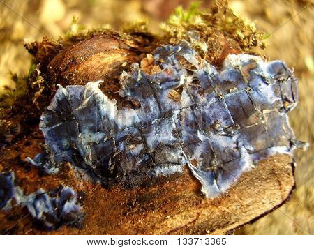 Close up of the fungus Terrana Caerulea, also known as Cobalt Crust or Velvet Blue Spread