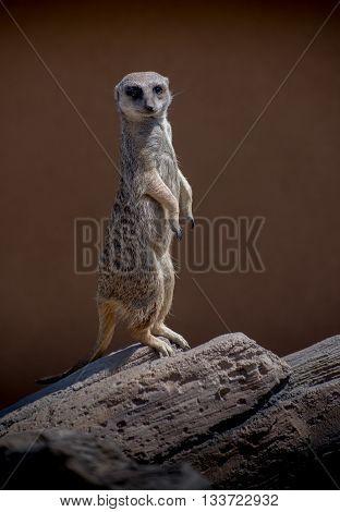 Meerkat of Africa standing tall on sentry duty