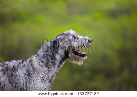 Portrait of a Irish Wolfhound on a green backround