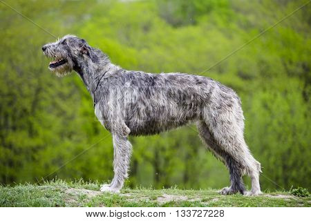 Irish Wolfhound stays on a green grass on a green background