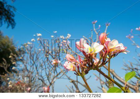Frangipani flower side the sea with blue sky