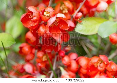 Red flowers of the Japanese quince through a grass. Flowers have blossomed and are lit with the sun foliage light green. Close up small depth of sharpness