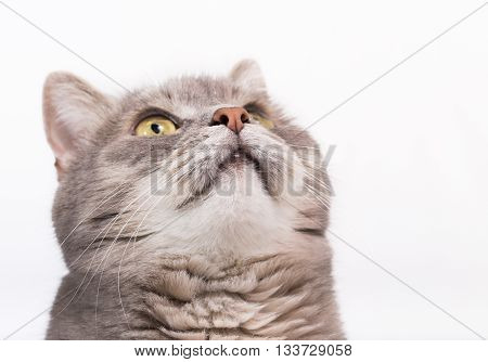 Muzzle of a gray cat bottom view. Light background close up small depth of sharpness free space above and on the right
