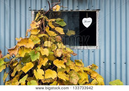 Tin Shed window with a grape vine growing by it.