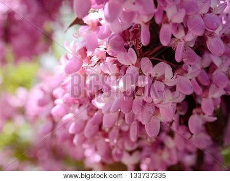 Close-up flowers of Cercis siliquastrum. Spring flowers background
