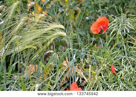 Green immature wheat ears with red poppy photographed close up