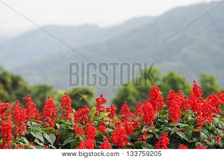 Perspective defocus landscape of red flowers with green tree and mountain in background red flowers mountain
