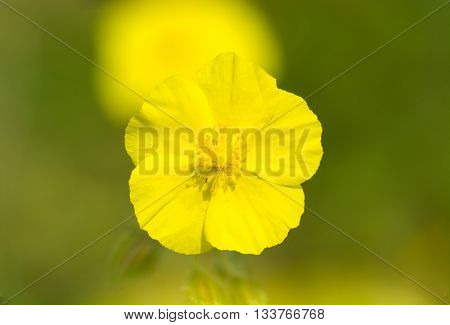 Common rock rose (Helianthemum nummularium). Beautiful delicate yellow flowers of this low growing plant in the family Cistaceae poster