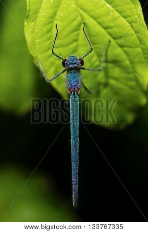Banded demoiselle (Calopteryx splendens) with dew from above. Damselfly with dark band across centre of wings and metallic blue-green body