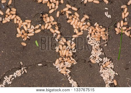 Common black ant (Lasius niger) pupae with workers. Exposed chambers of ants' nest showing large and small pupae of males and female workers