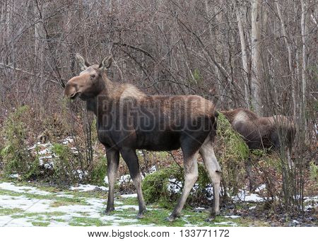A mother moose and her calf munch on foliage