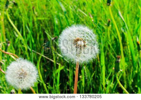 Dandelion - a symbol of rebirth, the promise that, despite the loss, life goes on, what all will be well again.