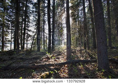 Light starting to reach into a forest in Saskatchewan Canada