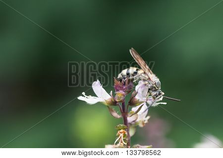Honey Bee Collects Basil Flower Nectar