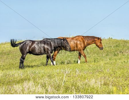 While meandering through their pasture these two horses stuck close to each other on a South Dakota ranch.