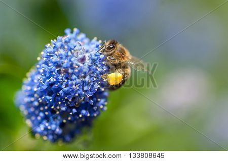 Bee on the flower of California Mountain Lilac or Ceanothus Concha is one of the oldest Ceanothus hybrids. Macro selective focus