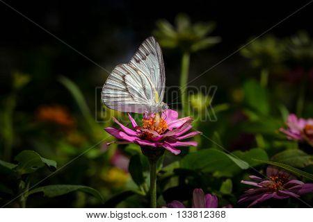 Striped albatross butterfly on the pink flower.