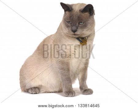 Seal Point Siames Cat, This Breed Originates From The East 02