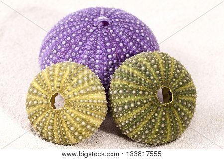 sea shells of violet and green sea urchin lying on the sand close up.