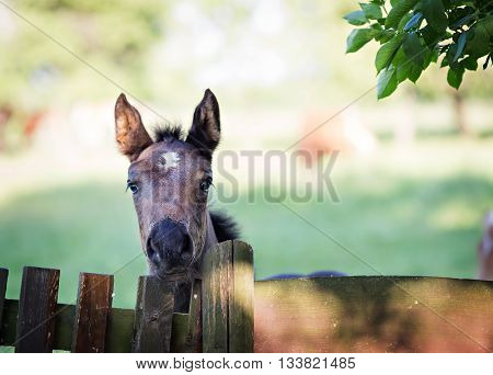portarit of a foal by the wooden fence
