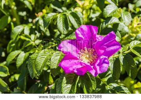 Rosa Rugosa Thunb. - Flower.