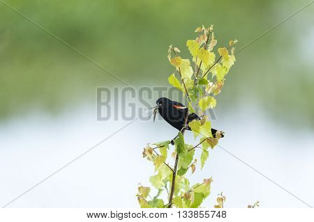 Perched Red-winged Blackbird with dragonfly for nestlings