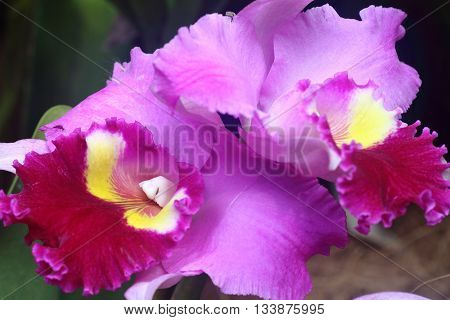 Purple orchid with large sepal in full bloom