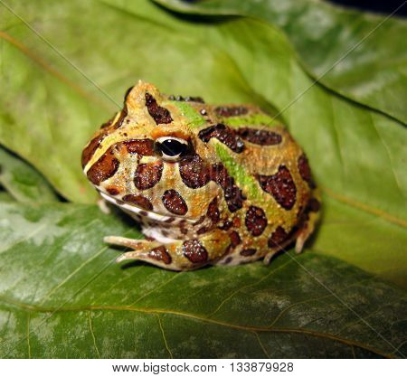 Pacman frog or horned frog on green leaves with brown and green pattern close up facing sideways.