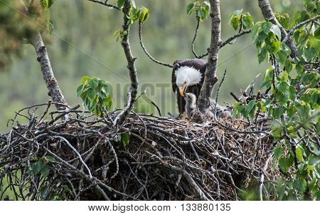 Bald eagle feeds its chick in the nest