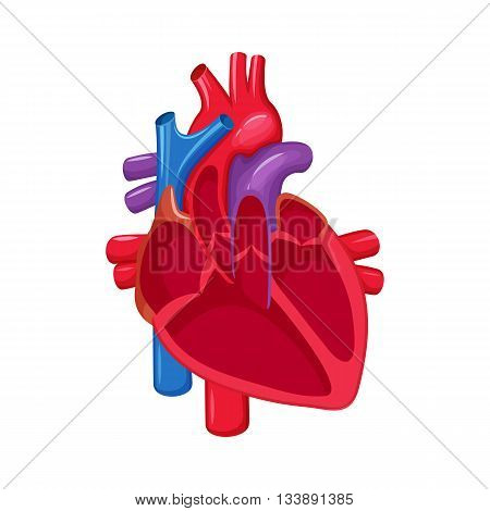 Human heart anatomy. Heart medical science vector illustration. Internal human organ: atrium and ventricle, aorta, pulmonary trunk, valve and vein. Human heart anatomy education illustration