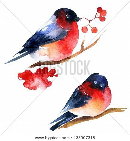 Watercolor bullfinch and ashberry isolated on white background. Hand painted winter illustration