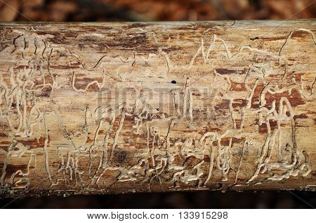 Colorful and crisp image of bark beetle traces