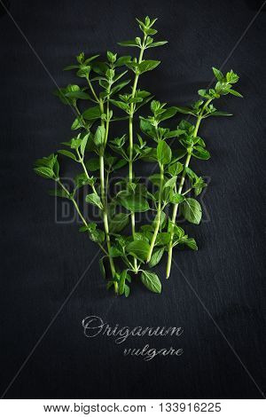 fresh green oregano on a dark slate plate sample text Origanum vulgare view from above vertical