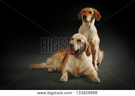 two dogs Golden retrievers - mother and puppy