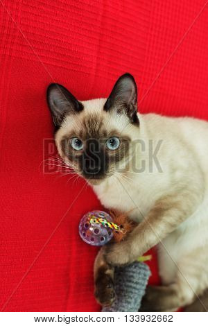 Thai cat playing with a toy on red background. Have fun with pet