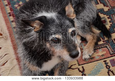 a old mongrel dog with black fur