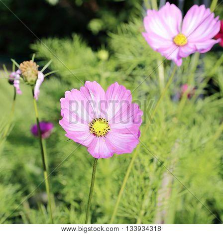 Pink Kosmeya flowers in the garden in summer