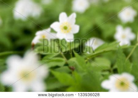 Flowers Anemone sylvestris in spring (blurred background)