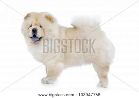 chow chow in studio on white background