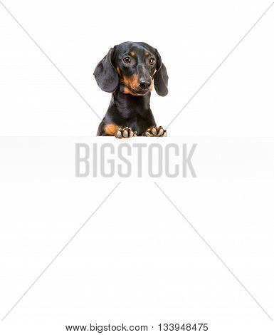 dog breed dachshund isolated on a white background