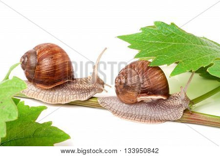 two snails crawling on the vine with leaf on a white background.