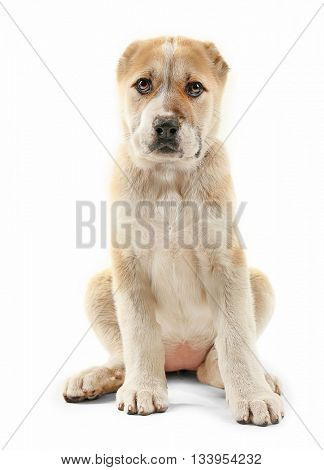 Central Asian Shepherd puppy isolated on white