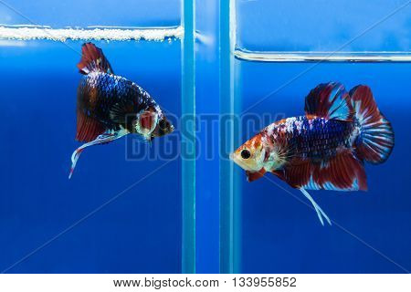 Siamese fighting fish in aquarium glass jar