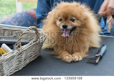 Pomeranian German Spitz dog is lying on the grooming table and is looking at the camera. Grooming equipment is lying in the basket on grooming the table.
