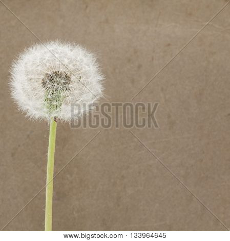 Blowball on Dirty Paper - dark Background