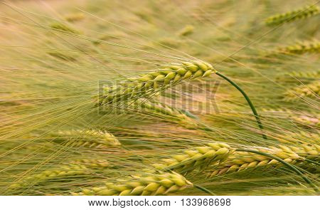 Green triticale ears hybrid of wheat and rye growing in cultivated field in field