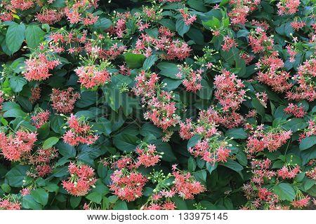 Rangoon creeper or flower Sweet Hand of tropics flower bloom on tree in the garden.